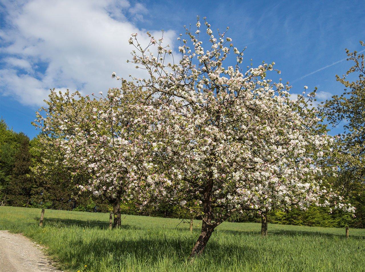 Qualifizierter Obstbaumschnitt Apfelbaum Frühling